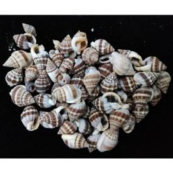 Craft Shells (100 grams) (SAVK-37)